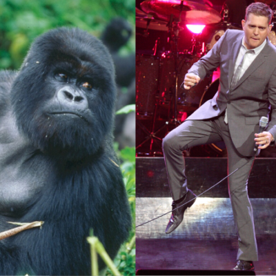 Michael Bublé performed a private concert of Christmas songs for a trio of gorillas