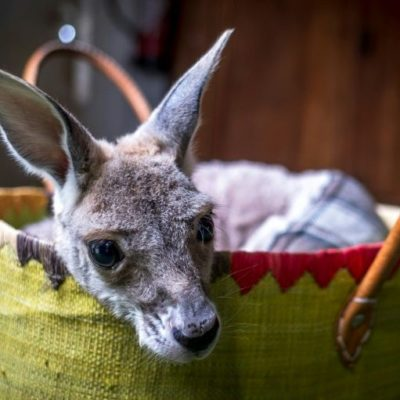 French sewing fans to the rescue of Australia's kangaroos